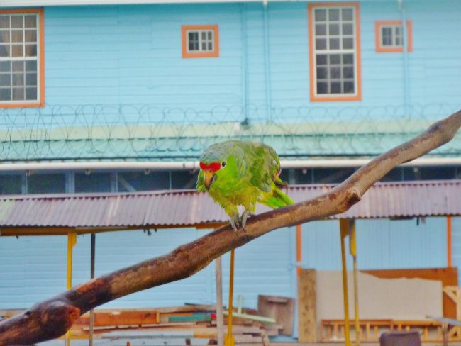 A parrot in Panama